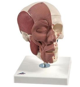 3B Scientific® Skull With Facial Muscles