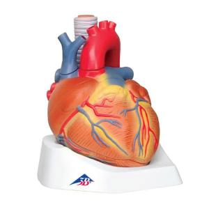 3B Scientific® Heart 7 Part