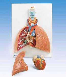 3B Scientific® Lung Model With Larynx