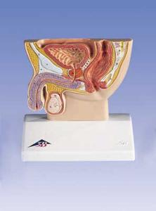 3B Scientific® Male Pelvis Section