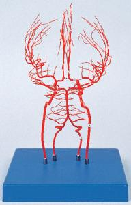 Arteries of the Brain Model
