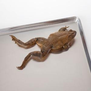 Formaldehyde-Free Bullfrogs