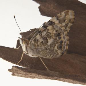 Ward's® Painted Lady Butterflies