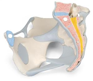 3B Scientific® Female Pelvis Models