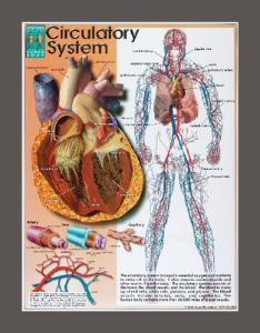 Systems Of The Human Body Chart Set