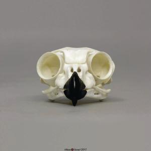 Great Horned Owl Skull
