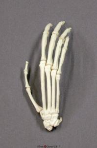 Siamang Hand