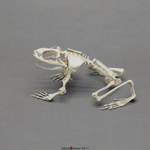 Goliath Frog Skeleton, Articulated