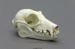 Fruit Bat Skull