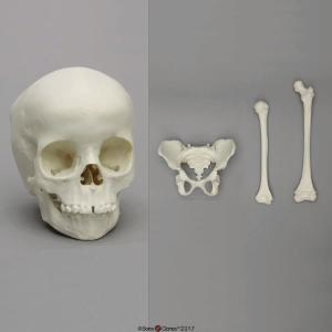 5-year-old  Child Economy Set: Skull, Pelvis, Femur, Humerus