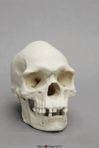 Human Male Australian Aboriginal Skull