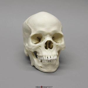 Human Male African-American Skull