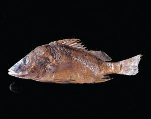 Preserved Mexican Grey Perch