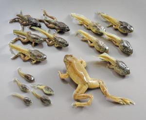 Bullfrog Transformation Set