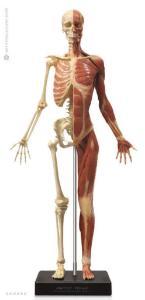 Anatomy Tools® Anatomical Figures, 1:3 Scale