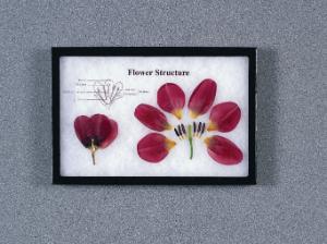 Flower Structure Riker Mount, Ward's®