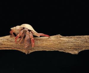 Ward's® Live Terrestrial Hermit Crab (Cenobita sp.)