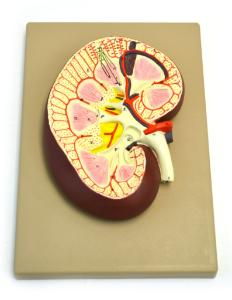 Eisco® Kidney Section