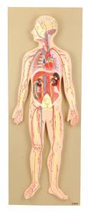 Eisco® Half Size Human Circulatory System