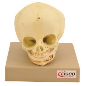 Eisco® Model Infant Skull