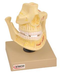 Eisco® Adult Denture