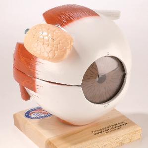 Denoyer-Geppert® Giant Eye Models