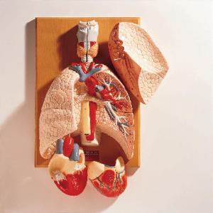 Denoyer-Geppert® Cardiopulmonary System