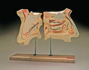 Denoyer-Geppert® Olfactory Organs