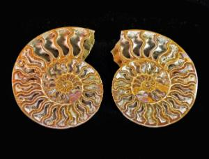 Ammonites (Cretaceous)