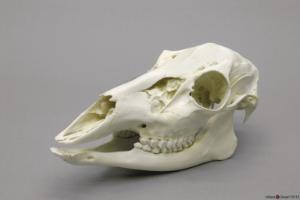 BoneClones® Animal Skulls, Mammals