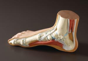 3B Scientific® Foot Structure Models
