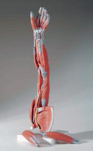 3B Scientific® Arm Musculature