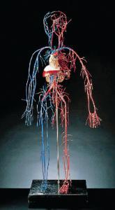 Vascular System Model