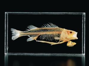 Ward's® Perch Skeleton