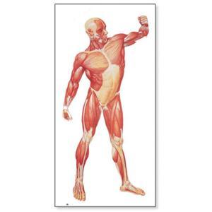 3B Scientific® Musculature Charts