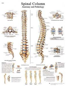 3B Scientific® Spinal Column Chart