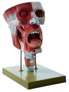 Somso® Cavities of Nose, Mouth, and Throat with Larynx