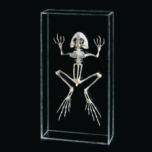 Ward's® Bullfrog Skeleton