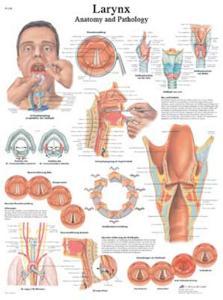 3B Scientific® Larynx Chart