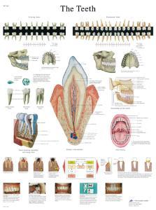 3B Scientific® Teeth Chart