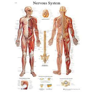 3B Scientific® Nervous System Chart