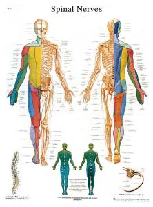3B Scientific® Spinal Nerves Chart