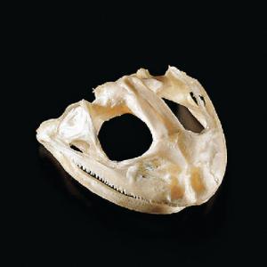 Bullfrog Skull