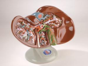 Denoyer-Geppert® Liver And Gallbladder Model
