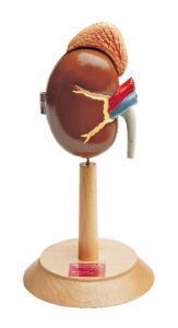 Denoyer-Geppert® Kidney With Adrenal Gland