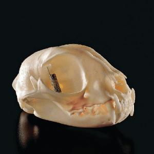 Cat Skull, Ward's®