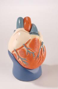 "Denoyer-Geppert® ""Unbreakable"" Heart Models"