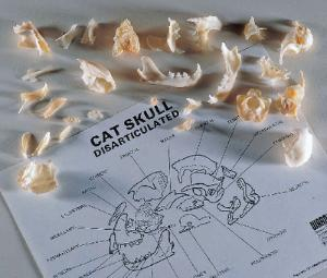 Ward's® Disarticulated Cat Skull