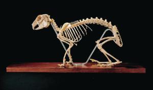 Ward's® Rabbit Skeleton