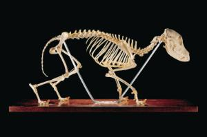 Ward's® Canine Skeleton